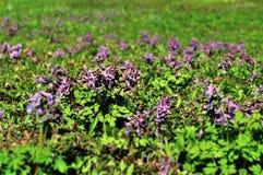 Halleri floreciente del Corydalis (solida del Corydalis) Fotografía de archivo libre de regalías