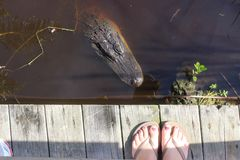 Hallo Alligator Stockfoto