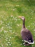 Hallo ducky Lizenzfreies Stockbild