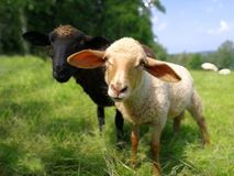 Hallo world, I am a little sheep. royalty free stock image