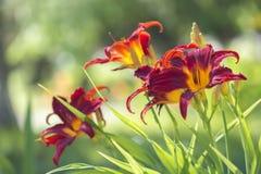 Hallon-guling daylilyblomningar Arkivbild