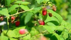 Hallon på filial swallowtail för sommar för fjärilsdaggräs solig stock video