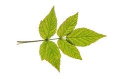 Hallonblad som isoleras på vit royaltyfri bild