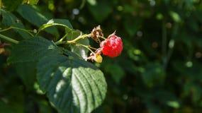 Hallonfrukt på busken royaltyfri bild