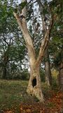 Old hallow tree. A hallowed tree in Autumn Stock Images