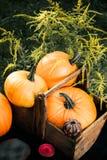 halloween Тыквы в коробке около Джек-o-фонарика и свечей в зеленом лесе, внешнем украшение фото тонизировало Взгляд сверху Thanks Стоковые Фото