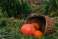 оранжевые тыквы в плетеной деревянной корзине на речном береге halloween стоковые фотографии rf