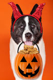 Halloween Akita Dog Trick-or-Treat Stock Images