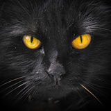 Halloween black cat. Closeup portrait of a Halloween black cat royalty free stock photography