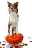 Halloween border collie Royalty Free Stock Photos