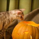 Cat and pumpkin, halloween celebration. Halloween celebration. Cat and carved pumpkin. Autumn is coming royalty free stock image