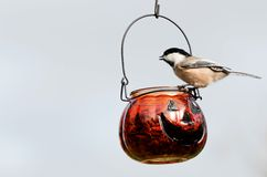 Halloween chickadee. Stock Image