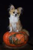 Halloween-Chihuahua Stockfoto