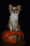 Halloween chihuahua. A Chihuahua dog sits on a heirloom pumpkin staring into the distance Royalty Free Stock Photography