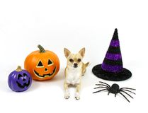 Halloween Chihuahua on a White Background Royalty Free Stock Photos