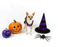 Halloween Chihuahua on a White Background Stock Photos