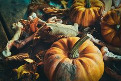 Halloween concept with pumpkins among dry leaves. Halloween theme of pumpkins among dry autumn leaves with bones in close up Stock Images