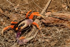 A Halloween Crab entangled in a fence. A Halloween Crab trapped and struggling to escape from a carelessly placed deer fence netting Stock Image