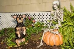 Halloween Dachshund. A cute Dachshund begging for a treat on Halloween Stock Photos