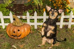 Halloween Dachshund. A cute Dachshund begging for a treat on Halloween Royalty Free Stock Photography