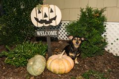 Halloween Dachshund. A cute Dachshund begging for a treat on Halloween Stock Photography