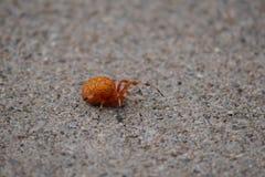 Creepy Orange Orb-Weaver Spider on the Sidewalk stock image