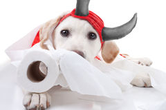 Toilet Paper Dog. Guilty Labrador puppy dog in as devil with toilet paper royalty free stock images