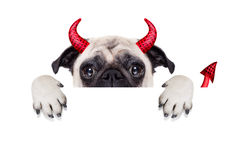 Halloween devil dog. Halloween devil pug dog  hiding behind white empty blank banner or placard or poster , isolated on white background Royalty Free Stock Image