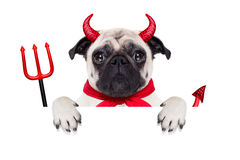 Halloween devil dog. Halloween devil pug dog  hiding behind white empty blank banner or placard or poster , isolated on white background Stock Photography