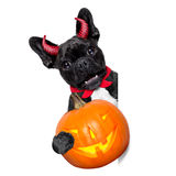 Halloween dog  banner Royalty Free Stock Image