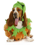 Halloween dog. Basset hound pumpkin with tongue hanging out isolated on white background royalty free stock photos