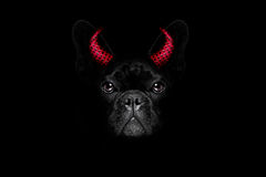 Halloween dog on black backgroud Royalty Free Stock Photos