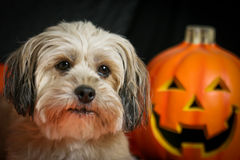Halloween Dog with Pumpkin Stock Images