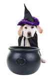 Witch Dog. Halloween witch Labrador puppy dog stock photo