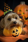 Halloween Dog. Yorkie wearing halloween hat with halloween pumpkins in background stock photography
