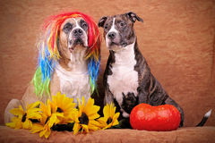 Halloween dogs Royalty Free Stock Images