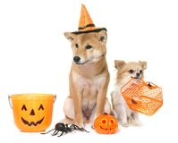 Halloween and dogs Royalty Free Stock Images
