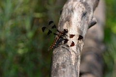 Halloween Dragonfly on branch. Halloween Pennant dragonfly resting on a branch Stock Images
