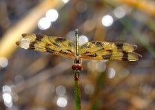 Halloween Dragonfly Stock Image