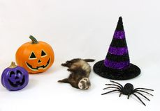 Halloween Ferret on a White Background. Cute ferret lying in front of a Halloween decorated white background Royalty Free Stock Photos