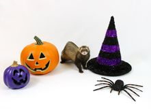 Halloween Ferret on a White Background. Cute ferret standing in front of a Halloween decorated white background Stock Photo