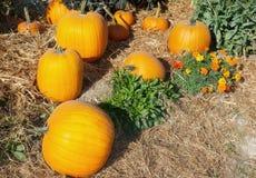 Halloween garden of pumpkins in october thanksgiving Stock Photography