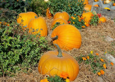 Halloween garden of pumpkins in october thanksgiving Royalty Free Stock Image