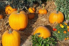 Halloween garden of pumpkins in october thanksgiving Royalty Free Stock Photo