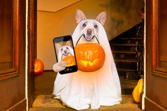 Halloween ghost dog trick or treat stock photos