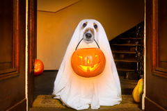 Halloween  ghost  dog trick or treat. Dog sit as a ghost for halloween in front of the door  at home entrance with pumpkin lantern or  light , scary and spooky Stock Photo