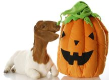 Halloween goat. South african boer goat sniffing halloween pumpkin with reflection on white background Royalty Free Stock Images