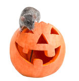 Halloween-Grauratte Lizenzfreie Stockfotografie