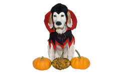 Halloween-Hund Lizenzfreie Stockfotografie