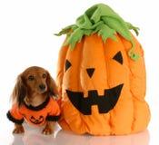 Halloween-Hund mit Kürbis Stockfoto
